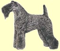 Kerry Blue Terriers.jpg